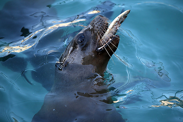 Malnourished Sea Lions Continued To Be Rescued Off California Shores